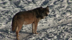 Wolf going away Stock Footage