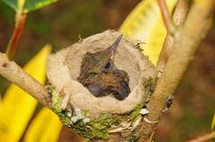 Baby bird of rufous-tailed hummingbird in the nest Kuvituskuvat