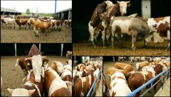 Animal Sex multi screen Bulls Mating Season,Cattle Bull Mount Cow, Cow Farm Stock Footage