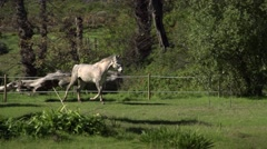 Grey horse runs.Slow motion Stock Footage