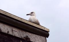 Fledgling seagull on the roof of a shack Stock Photos