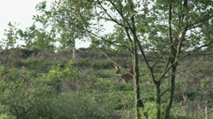003 Roe deer in the forest Stock Footage