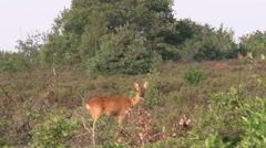 009 Roe deer in the forest Stock Footage