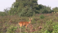 Stock Video Footage of 009 Roe deer in the forest