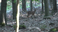Roe deer in the forest Stock Footage