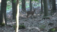 Stock Video Footage of Roe deer in the forest