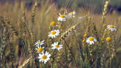 Blossoming camomiles among ripening wheat Stock Footage