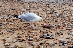Seagull with the carcass of a smooth dogfish Stock Photos