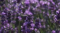 HD1080p25 Lavender Blowing in the Wind (Close Up) Part 5. Zoom out. Stock Footage