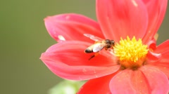 Bee collecting honey on red dahlia flower Stock Footage