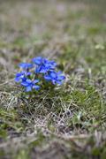 spring gentian - stock photo