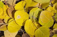 Fallen aspen leaves Stock Photos