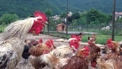0386 Cock singing among hens in a farmhouse Stock Footage