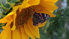 Monarch Butterfly Eating on Large Sunflower - hd video 1080p - stock footage