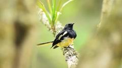 Pied Bush Chat-Black bird sittting on a tree branch Stock Footage