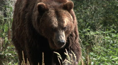Bear, Brown Bear, Grizzly Bear, Grizzly, 4K, UHD Stock Footage