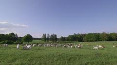 Flock of goats graze on meadow Stock Footage