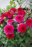 Shrub bright dahlias in the garden Stock Photos