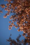 Early cherry blossom in evening light - stock photo