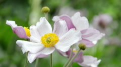 Pink anemone flower (Anemone hupehensis) Stock Footage