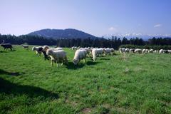 Flock of sheep in pieniny mountains, Stock Photos