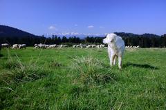 Tatra sheepdog - herding dog Stock Photos