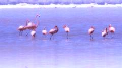 Flamingos on lake Stock Footage