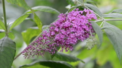 Buddleia bush in the wind. Stock Footage