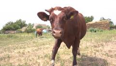 Curious cow looking into camera Stock Footage
