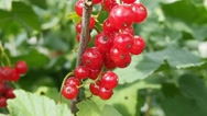 Stock Video Footage of Bunch of red currants on the branch