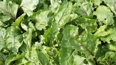 Beet leaves in the garden Stock Footage