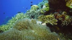 Pink anenomefish Stock Footage
