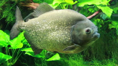 The red-bellied piranha or red piranha (Pygocentrus nattereri) Stock Footage