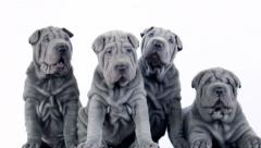 Four Shar Pei Pups Sitting in the Studio Stock Footage
