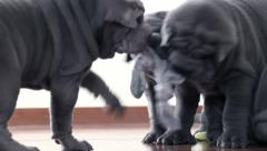 Shar Pei Pups Playing with a Rag - stock footage
