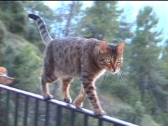 Leo and His High Wire Act Stock Footage