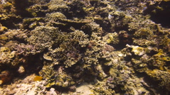 Long nose butterflyfish on coral reef Stock Footage
