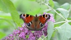 Peacock butterfly sitting on butterfly bush (Buddleja) Stock Footage
