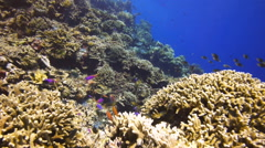 Colourful coral reef fish Stock Footage