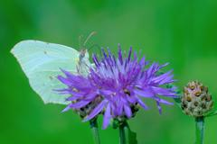 Brimstone butterfly Stock Photos