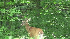 Stock Video Footage of Deer standing at edge of a treeline