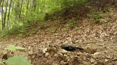 Salamander in the mountain forests of the Carpathians Stock Footage