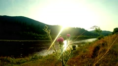 Thistle flower in a mountain river at sunset with a bumblebee Stock Footage