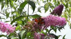 Peacock butterfly on butterfly bush (Buddleja) Stock Footage