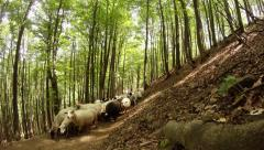 Flock of sheep walking on a dirt road in a beech forest mountain Stock Footage