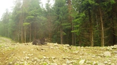 Wild brown bear slept, then woke up and went Stock Footage