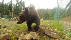 Bear is looking for something in the rocks, bear resort Stock Footage