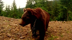 Brown bear close up, poses for the camera Stock Footage