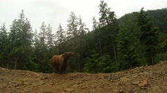 Wild bear out of the woods for a walk Stock Footage