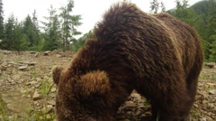 Brown bear on a walk and found something to eat Stock Footage